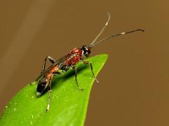 Red Wasp (treegrow) Tags: nature insect spain arthropoda lifeonearth parasiticwasp raynoxdcr250 elspoblets ichneumoninae canonspeedlite430exii hymnenoptera canonpowershotsx40hs crytea