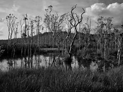 (Roman Schatz) Tags: trees blackandwhite monochrome landscape australia wetlands
