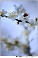 - Plum flower with bee (AndrewOre ()) Tags: winter flower     plumflower