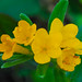 Hairy Puccoon (Lithospermum canascens)