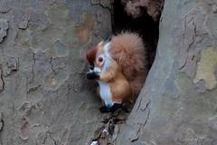 Punxsutawney Phil waiting for Sunrise (Sockenhummel) Tags: winter squirrel fuji finepix fujifilm baum x30 groundhogday murmeltier baumstamm murmeltiertag eihhrnchen fujix30