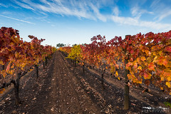 Autumn Rows - Wilderotter Vineyard - Plymouth, California (Greg Mitchell Photography) Tags: vineyard color purple wire fall orange red ravel california november road foothills wine yellow county valley amador landscape sunset winery tactile evening shenandoah wilderotter autumn plymouth grape cloud nature row shan green school hayes 2013 post