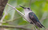 The smallest bird on Earth: Bee Hummingbird - Mellisuga helenae (Aphelocoma_) Tags: bird nature animal female march photo spring hummingbird image wildlife cuba aves photograph matanzas 2015 trochilidae apodiformes canonextenderef14xii zapatapeninsula beehummingbird mellisugahelenae mellisuga canoneos5dmarkiii smallestbirdonearth refugiodefaunabermeja canonef300mmf28lisiiusmlens