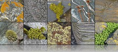 rock concert .... (Edinburgh Nette ...) Tags: beach collage marine sandstone rocks algae quartz lichens sedimentary mosses ribbet maritima schist xanthoria parietina seams crustose foliose peploides honckenya prothallus saxicolous acrocarpous armaria