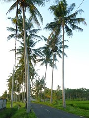 Im Bezirk Ubud - Kokos-Palmen-Allee (Cocos nucifera); Bali, Indonesien.jpg (9) (Chironius) Tags: trees bali tree indonesia rboles boom arbres rbol albero bume arbre rvore baum trd indonesien aa   arecaceae arecales  kokospalme cocosnucifera palmenartige palmengewchse commeliniden