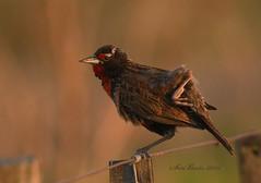 Loica común (Ser Bais) Tags: naturaleza bird nature argentina aves pájaros ave pampa loica olavarría nikond7100 tamron150600