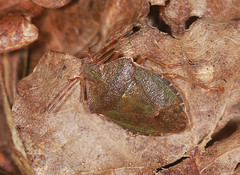 Common Green Shieldbug - Palomena prasina (Prank F) Tags: macro green nature closeup bug insect wildlife common shieldbug wildlifetrust palomenaprasina glapthorncowpastures northantsuk