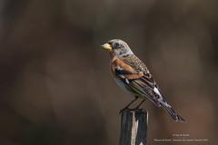 Pinson du nord (Guy&Nicole) Tags: bird oiseau brambling fringillamontifringilla pinsondunord fringillids passriformes