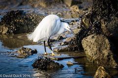 (DavidQuick) Tags: england reserve hampshire marsh egret wildlifetrust farlington copyrightdavidquick2016