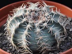 Echinocereus pulchellus ssp. weinbergii (Orkel2012) Tags: cactus succulent echinocereus