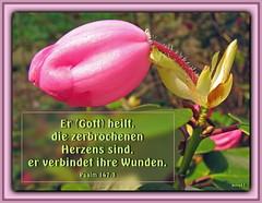 Gott heilt / God heals (Martin Volpert) Tags: flower fleur jesus flor pflanze bible blomma christianity blume fiore blte bibel blomster virg christus lore biblia bloem blm iek floro kwiat flos ciuri glaube bijbel kvet kukka cvijet flouer glauben christentum blth cvet zieds is floare  blome iedas bibelverskarte mavo43
