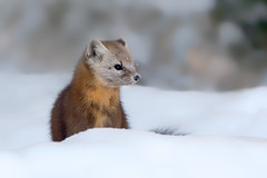 Pine marten (Phiddy1) Tags: wild snow ontario canada ngc npc pinemarten