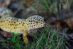 leopard gecko 1 (jerry425630) Tags: leopardgecko nikon70210f4seriese