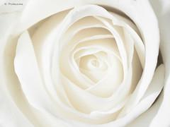 white beauty (explored 2016-02-08) (bkp77) Tags: macro rose highkey ros vit fotosondag fs160207
