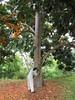 starr-120606-6860-Castanospermum_australe-flowering_habit_with_Kim-Kahanu_Gardens_Hana-Maui (Starr Environmental) Tags: castanospermumaustrale