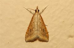 Crambidae (Moth sp.) - South Africa (Nick Dean1) Tags: insect southafrica moth lepidoptera arthropoda krugernationalpark satara arthropod hexapod insecta hexapoda