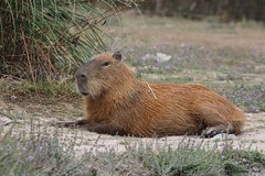 Capybara (Passion Animaux & Photos) Tags: france pal capybara hydrochoerus hydrochaeris cabiai