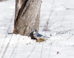quabbinwinter2016-426 (gtxjimmy) Tags: blue winter bird nikon jay massachusetts newengland reservoir quabbin tamron songbird quabbinreservoir d600 watersupply nikond600 150600mm