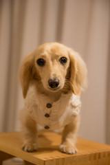 IMG_0178 (yukichinoko) Tags: dog dachshund 犬 kinako ダックスフント ダックスフンド きなこ