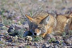Coyote, Death Valley (4) (Bob Palin) Tags: california coyote 15fav usa nature animal 510fav nationalpark desert outdoor wildlife deathvalley club100 100vistas instantfave autoremovedfrom1to5faves orig:file=2016012804737