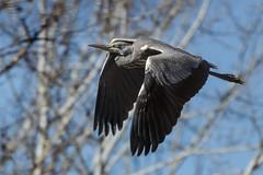 El juvenil de la Garza (chuscordeiro) Tags: madrid parque espaa naturaleza bird heron animal rio fauna canon grey flight ave 7d pluma 70200 manzanares juvenil 2x airelibre garzareal