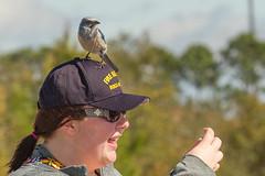 IMG_4005 (Bill Jelen) Tags: hat birding scrubjay rockledge birdonhat