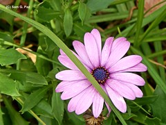DSCN5950 De los jardines de Atlixco (Sam G. Paz) Tags: naturaleza mxico flor puebla medioambiente atlixco 150912 samgpaz