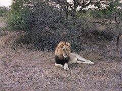 King of the jungle (chillbay) Tags: africa mamiya southafrica lion mamiya645 krugernationalpark kruger tandatula
