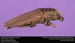Jewel Beetle (Coleoptera, Buprestidae) (insectsunlocked) Tags: insect beetle coleoptera buprestidae jewelbeetle colorfulinsect hairybeetle colorfulbeetle