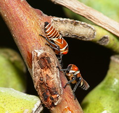 Whatareyou gunna be when you grow up mate! (ron_n_beths pics) Tags: westernaustralia hemiptera treehoppers carineswamp