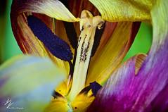 _DSC6678 (David Delisio Photography) Tags: cactus flower macro nature colors photography nikon d90 extentiontubes daviddelisio
