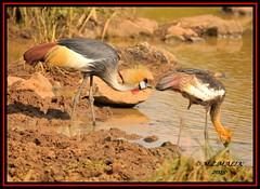 JUVENILE AND ADULT GREY CRESTED CROWNED CRANE BIRDS (Balearica regulorum)......NAIROBI NAT. PARK......SEPT 2015. (M Z Malik) Tags: africa nikon kenya wildlife ngc safari nairobinatpark d3x exoticafricanbirds exoticafricanwildlife 200400mm14afs