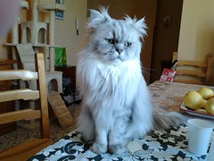 My persian cat posing (romeosilverpersian) Tags: cats romeo gatti persiancats scratchingpost greycats silvertabby silvercat longhaircats tiragraffi silvershaded catbreed chinchillapersian gattipersiani