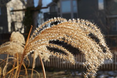 Winter Brown (Let Ideas Compete) Tags: winter plant grass seeds ornamental spores