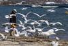 Bird feeding (jer1961) Tags: seagulls toronto swan feeding seagull gull gulls swans feedingthebirds birdfeeding sunnysidebeach humberbay gzowskibeach