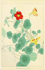 Garden nasturtium (Japanese Flower and Bird Art) Tags: flower art japan garden print japanese soun tropaeolum woodblock nasturtium nihonga majus tropaeolaceae chigusa readercollection