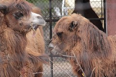 camels chatting (theharv58) Tags: camels torontozoo bactriancamel torontocanada canon60d twohumpedcamels canonef50mmf18iilens canoneos60d canonefs18200mm13556islens