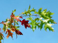 Red oak (Quercus rubra) (Peter O'Connor aka anemoneprojectors) Tags: autumn england plant tree nature leaf oak quercus flora kodak outdoor wildlife foliage plantae redoak hertfordshire 2015 fagaceae sandridge quercusrubra fagales jerseyfarm z981 kodakeasysharez981 jerseyfarmwoodlandpark