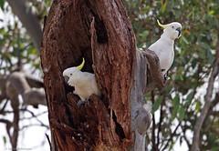 Sulphur-crested Cockatoos (aaardvaark) Tags: australia canberra act sulphurcrestedcockatoo cacatuagalerita cnp callumbrae 201603151d2806scc42x30