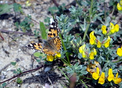 Painted Lady butterfly in Pineto Abruzzo (popinjaykev - living the Italian dream) Tags: italy butterfly italia abruzzo paintedlady torrediceranno