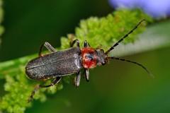 Cantharis (Cantharis) fusca Linnaeus, 1758? (Jesús Tizón Taracido) Tags: coleoptera cantharidae elateroidea cantharisfusca polyphaga elateriformia cantharinae cantharini
