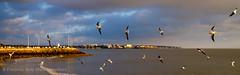 Mouettes volants sur Royan (Chambres Noires) Tags: france fr mouette 2016 royan poitoucharentes saintgeorgesdedidonne chambresnoiresfr fredericrole