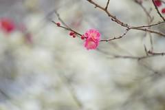 /Prunus mume (nobuflickr) Tags: flower nature japan kyoto   japaneseapricot  prunusmume thekyotobotanicalgarden   20160301dsc02534