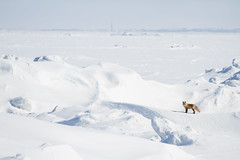 In the world of ice and snow II (alexander.alechits) Tags: winter snow ice nature russia wildlife fox sakhalin     canoneos7d canonef70300mmf456lisusm alexanderalechits