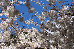 IMG_9367 (elenafrancesz) Tags: uw cherry blossoms wordless