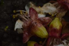 fallen flowers (bazazga) Tags: flowers macro fallen apricot