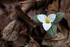 Trillium nivale (Travis Mahan) Tags: park county snow trillium illinois naturallight allerton piatt explored nivale