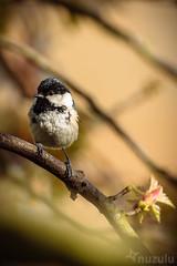 Pip the Coaltit (Nuzulu) Tags: tree bird garden spring branch tit blossom acer bud coaltit gardenbird