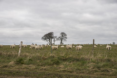 Sheep and a Charlton Clump (stevedewey2000) Tags: trees landscapes sheep farming agriculture wiltshire 32 salisburyplain sigma2470