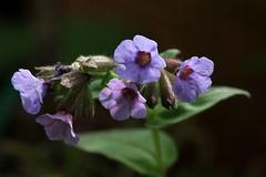 Preziosa (lincerosso) Tags: flowers primavera colore fiori luce bellezza sottobosco armonia pulmonariaofficinalis polmonaria quercetocarpineto